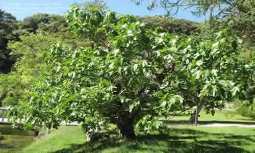 a figueira seca com folhagens Onde estão os figos?